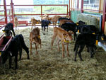The family for analyzing the genes involving meat quality.(Japanese Black × Limousin)の画像